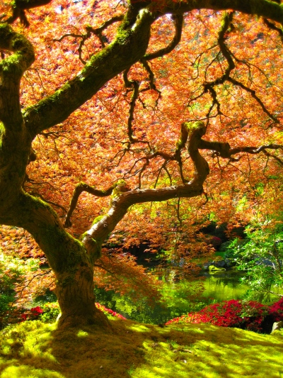 Portland_Japanese_Garden_maple
