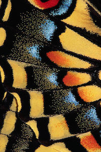 Close-Up of Anise Swallowtail's Wing